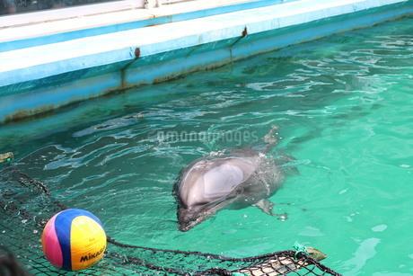 伊勢シーパラダイス イルカさんがボールを探してるの写真素材 [FYI03145394]