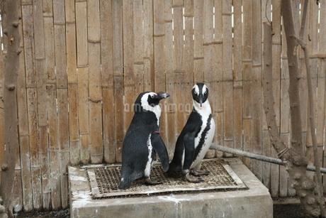 伊勢シーパラダイス かわいいペンギンさんの写真素材 [FYI03145397]