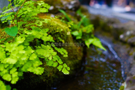長谷寺の新緑の写真素材 [FYI03145424]