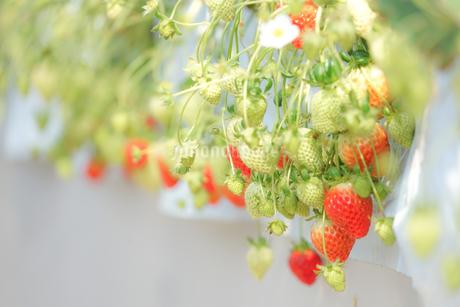 苺のイメージの写真素材 [FYI03145429]