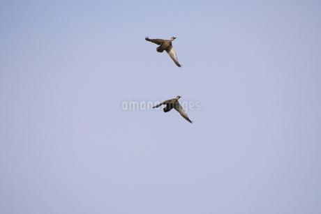青空を飛ぶカルガモの写真素材 [FYI03145432]