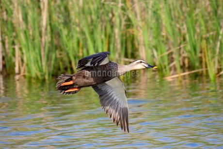 池の上を飛ぶカルガモの写真素材 [FYI03145434]