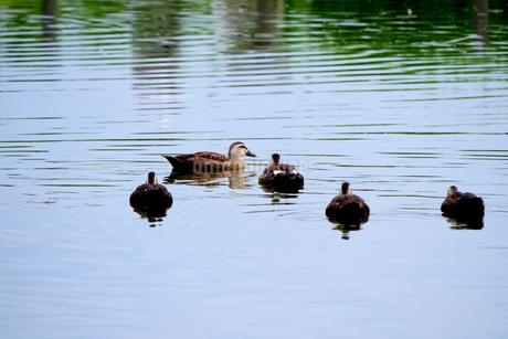 池を泳ぐカルガモの群れの写真素材 [FYI03145437]
