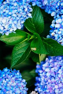 アマガエルと紫陽花の写真素材 [FYI03145521]