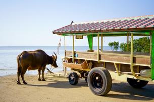 水牛と水牛車の写真素材 [FYI03145544]