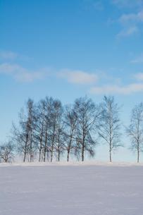 雪の丘とシラカバ並木 美瑛町の写真素材 [FYI03145622]