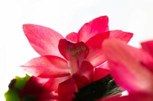 赤いサボテンの花のクローズアップの写真素材 [FYI03145625]