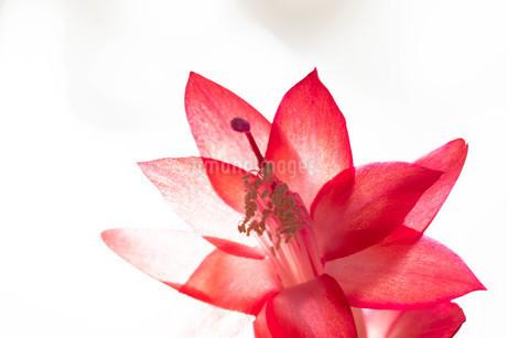 赤いサボテンの花のクローズアップの写真素材 [FYI03145626]