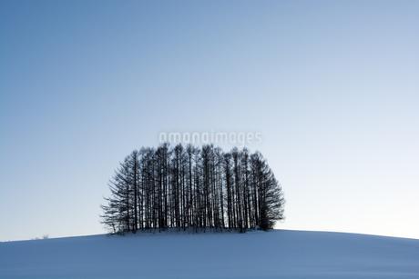 雪の丘の上のカラマツ林 美瑛町の写真素材 [FYI03145629]