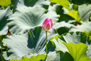 蓮池の花の写真素材 [FYI03145955]