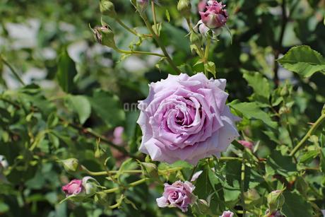 紫のバラの写真素材 [FYI03145988]