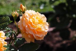 オレンジ色のバラの写真素材 [FYI03145989]