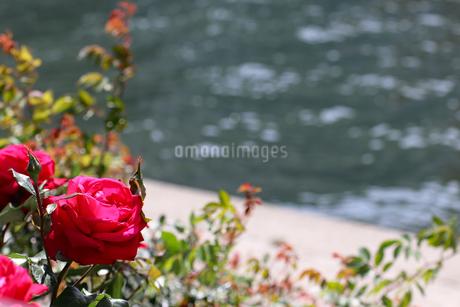 水辺の赤いバラの写真素材 [FYI03145990]