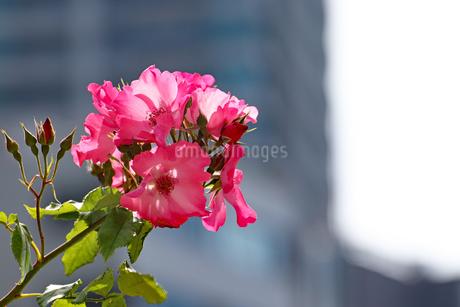 街中に咲くピンクの花の写真素材 [FYI03145991]