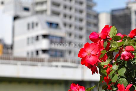 街に咲く赤い花の写真素材 [FYI03145992]