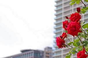 オフィス街に咲く赤いバラの写真素材 [FYI03145993]
