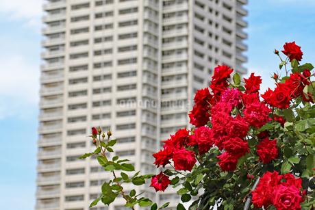 赤いバラと白いビルの写真素材 [FYI03145994]