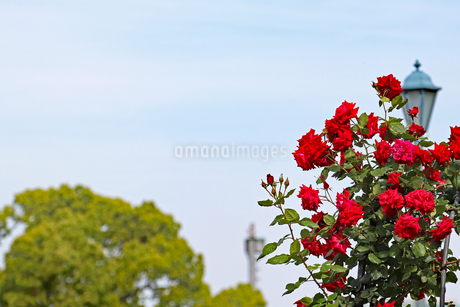 公園の真っ赤なバラの写真素材 [FYI03145995]