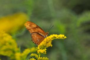 ドクチョウの仲間 Julia Longwing Butterfly 蝶 / Dryas iuliaの写真素材 [FYI03146611]