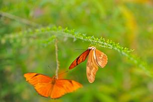 ドクチョウの仲間 Julia Longwing Butterfly 蝶 / Dryas iuliaの写真素材 [FYI03146615]