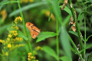 葉にとまっているドクチョウの仲間 Julia Longwing Butterfly 蝶 / Dryas iulia の側面写真の写真素材 [FYI03146620]