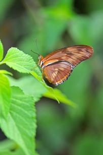 葉にとまっているドクチョウの仲間 Julia Longwing Butterfly 蝶 / Dryas iuliaの写真素材 [FYI03146627]