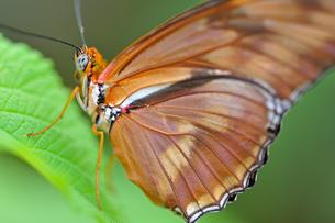 葉にとまっているドクチョウの仲間 Julia Longwing Butterfly 蝶 / Dryas iulia のクロースアップ写真の写真素材 [FYI03146632]