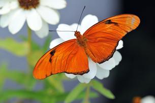 白い花にとまっているドクチョウの仲間 Julia Longwing Butterfly 蝶 / Dryas iulia のクロースアップ写真の写真素材 [FYI03146636]