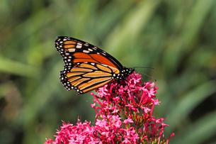 ピンクの小さな花から蜜を吸うオオカバマダラ蝶の写真素材 [FYI03146663]