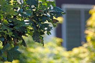 木の葉にとまって休んでいるオオカバマダラ蝶の写真素材 [FYI03146665]