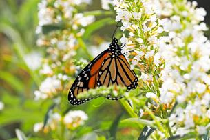 白い小さな花から蜜を吸うオオカバマダラの写真素材 [FYI03146667]