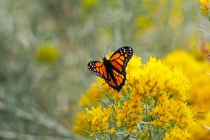 黄色い花にとまっているオオカバマダラ蝶の写真素材 [FYI03146695]