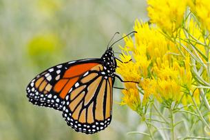 黄色い花から蜜を吸うオオカバマダラの写真素材 [FYI03146696]