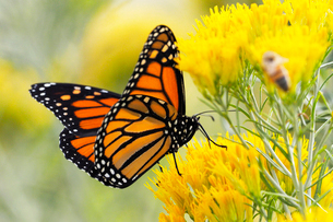 黄色い花から蜜を吸うオオカバマダラの写真素材 [FYI03146738]