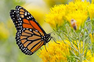 黄色い花から蜜を吸うオオカバマダラ蝶の写真素材 [FYI03146739]