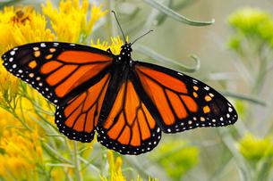 黄色い花の上にとまり大きく羽を広げたオオカバマダラ蝶の写真素材 [FYI03146746]