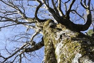 ブナの大木の写真素材 [FYI03146923]