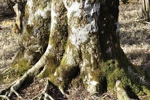 ブナの大木の写真素材 [FYI03146924]