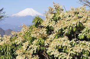 富士山とアセビの写真素材 [FYI03146931]