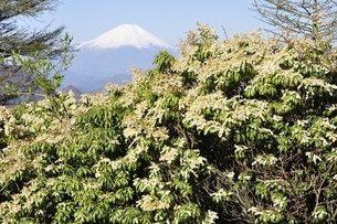 富士山とアセビの写真素材 [FYI03146932]