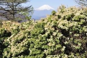 富士山とアセビの写真素材 [FYI03146933]