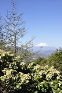 富士山とアセビの写真素材 [FYI03146934]