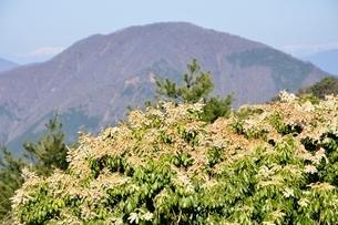 馬酔木の花に大室山の写真素材 [FYI03146945]