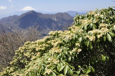 アセビ咲く丹沢より富士山の写真素材 [FYI03147105]