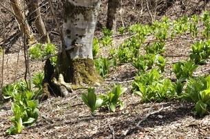 森に生い茂るオオバイケイソウの葉の写真素材 [FYI03147112]