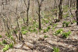 森に生い茂るオオバイケイソウの葉の写真素材 [FYI03147117]