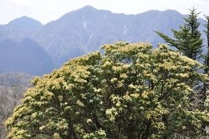 西丹沢の山並みに馬酔木の花の写真素材 [FYI03147124]