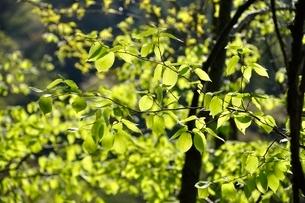 ブナの新緑の写真素材 [FYI03147148]