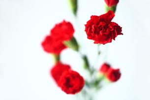 スプレーカーネーションの花の写真素材 [FYI03147172]