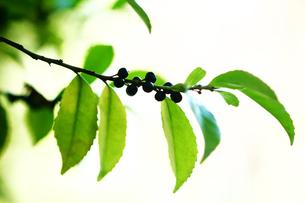 ヒサカキの黒く熟した実の写真素材 [FYI03147176]